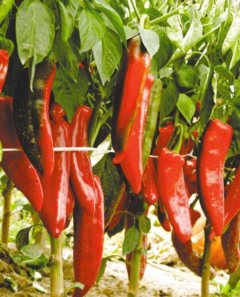 Выращивание перец острый двойное изобилие 77